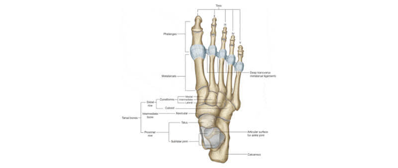 Contributing factors leading to Morton's neuroma